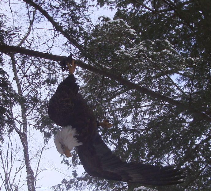Bald eagle suspended by leg hold trap