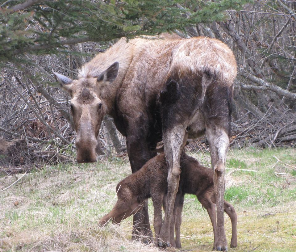 Moose cow with newborn calves, Homer, Alaska, Steve Hall